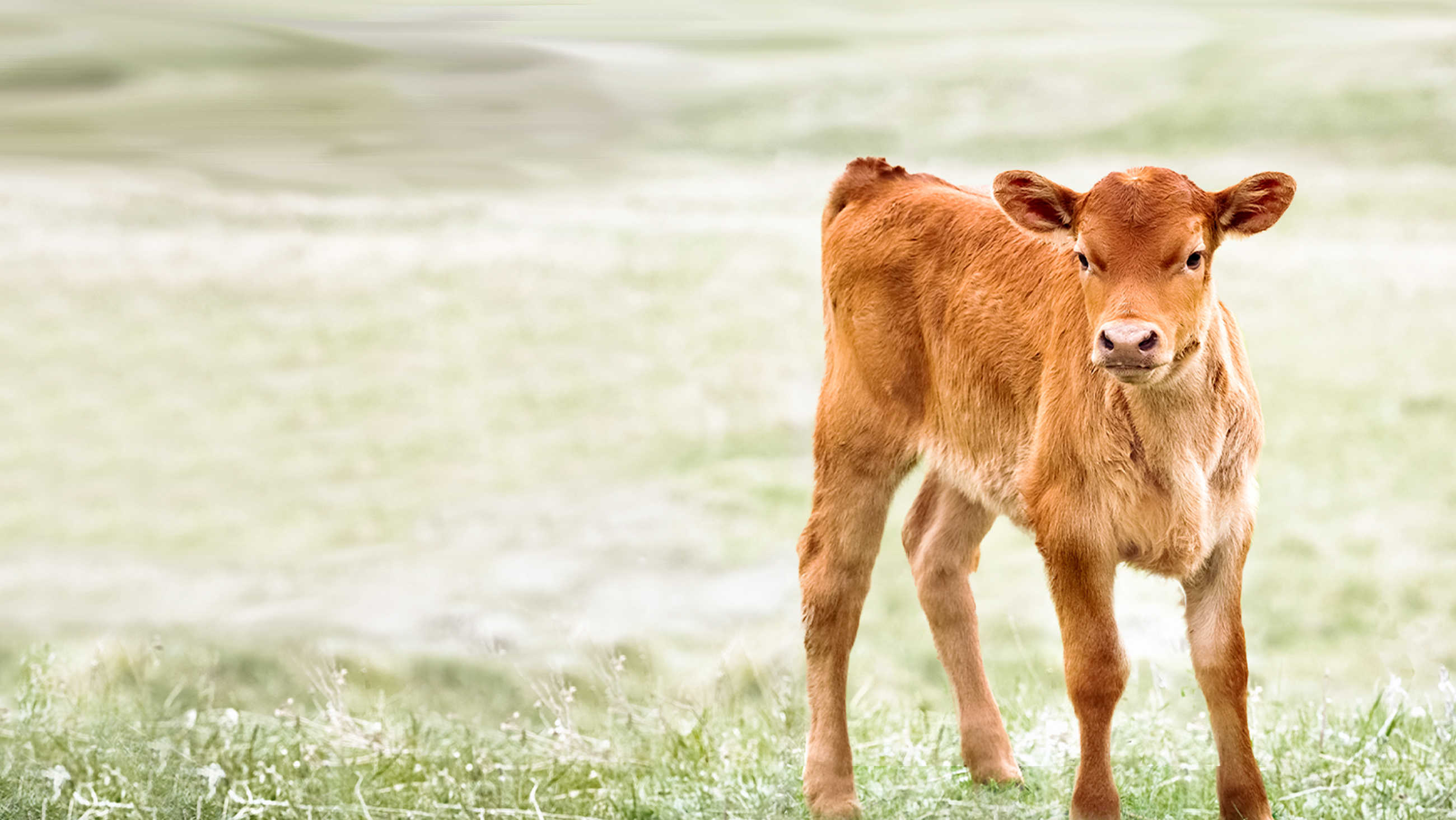 Dairy Calf Health and Sanitation – Home