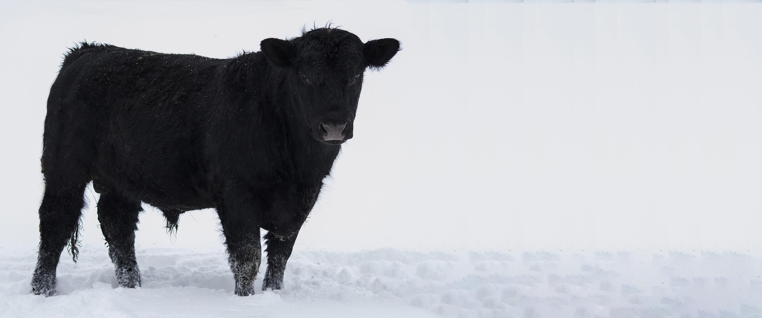 Bovine Breeding Soundness Exams – Page